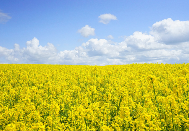 Field of rapeseed's and blue sky